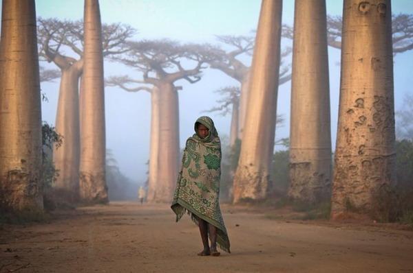 جنگل ماداگاسکار,گمشده,درخت بائوباب,