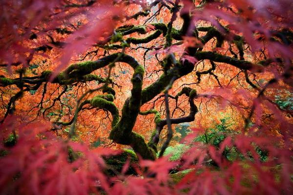 درخت افرا,افزای ژاپنی,