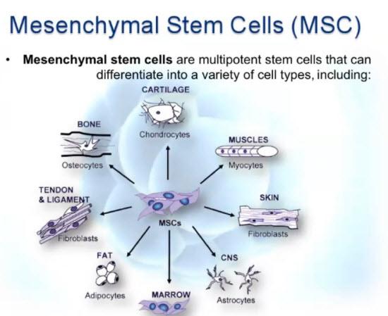 معکوسسازی سالخوردگی با سلولهای زنده بنیادی