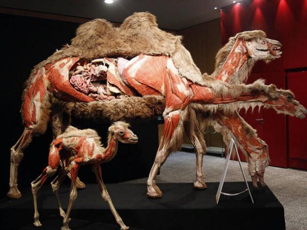 آناتومی شتر و یک بچه شتر
