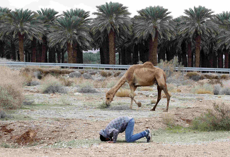 A Bedouin man prays near his camel in the Judean desert between Jericho and Jerusalem