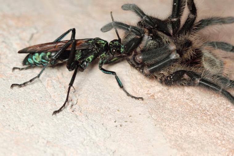 Tarantula hawk wasp dragging a giant spider