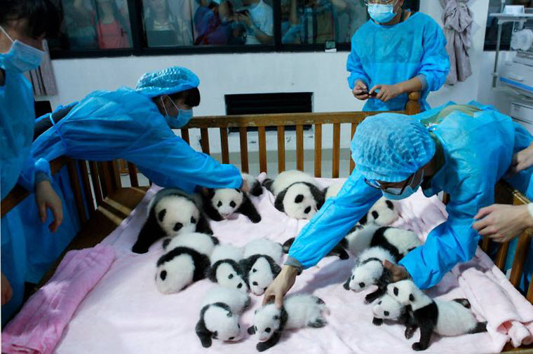 panda-daycare-nursery-chengdu-research-base-breeding-10