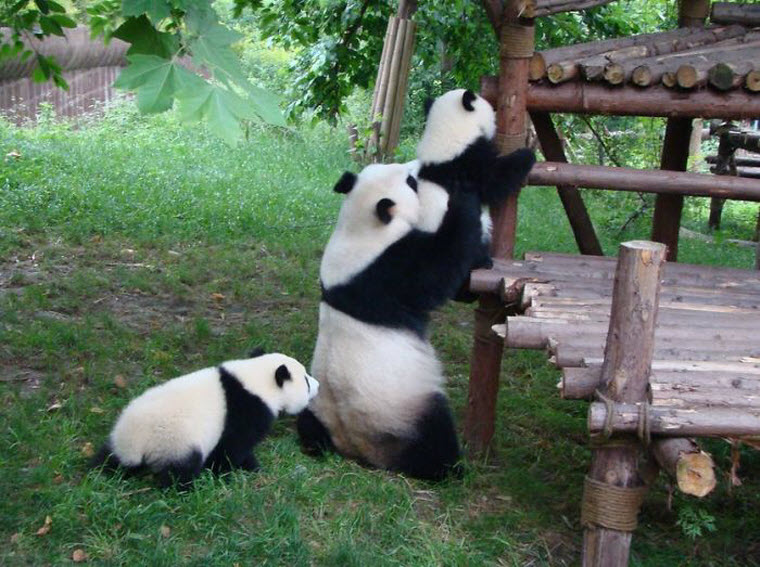 panda-daycare-nursery-chengdu-research-base-breeding-15