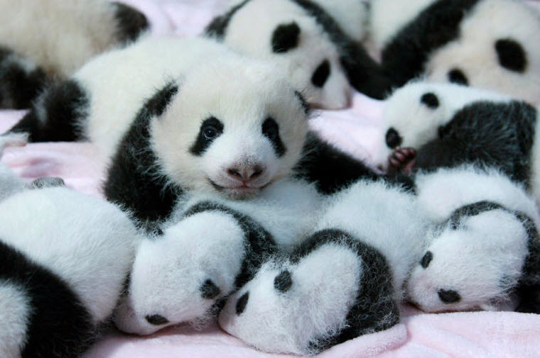 panda-daycare-nursery-chengdu-research-base-breeding-16