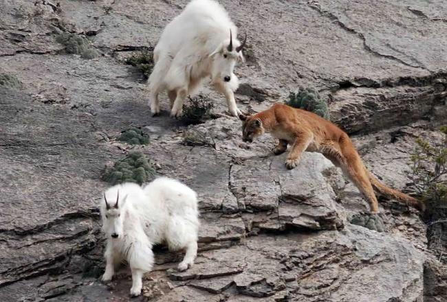 743855-650-1448029860-Mountain-Goats-21