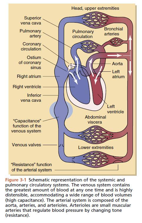 Circulatory Pathway