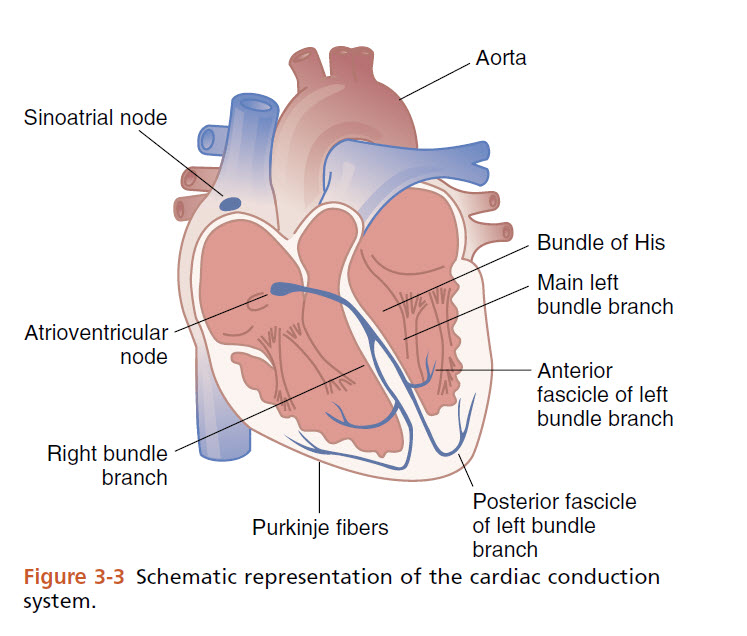 Schematic representation of the cardiac conduction system.