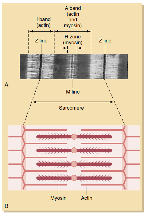 A, Sarcomere as it appears under the electron microscope. B, Schematic of the location and interaction of actin and myosin.